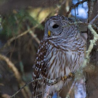 """The best moments are often unplanned ~ This striking Barred Owl was hunting in Winterberry Bog and drawing quite a crowd as we were searching for an American Three-toed Woodpecker. The """"crowd chasing"""" of an owl isn't our thing so we happily went on our way to continue in our woodpecker search when out of no where this beauty landed in right next to us. She stopped long enough for me to snag this image as she locked in on her pray and flew away. This was our second """"surprise Barred"""" on our trip and she did not disappoint. #barredowl #saxzimbog #surpriseowl #ohheyyy #minnesota #minnesotabirds #minnesotabirding #elite_raptors #elite_owls #ethicalowlphoto #owls #nuts_about_birds #nuts_about_wildlife #nuts_about_nature #country_features #birds_brilliance  #raw_birds #birdsandblooms  #best_birds_of_world #best_bird_shots #best_birds_of_ig #women_wildlife_photography"""
