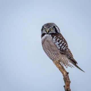 Northern Hawk Owl _____________________ I was in Minnesota last weekend and there were about three of these birds at the bog that were pretty reliable to find. Most of the time they're at the top of a tall tree, but this one was lower and hunting. _____________________ #1birdshot #minnesotawildlife #birdsofinstagram #birdingphotography #birds_nature #your_best_birdshot #eye_spy_birds #wildlifephotographs #bestbirdsshots #raptorsofinstagram #birdphotos #bird_features #bird_brilliance #birds_captures #birds_matter #wildlifepixures #your_bird_capture #iloveowls #northernhawkowl #saxzimbog #raptors_only