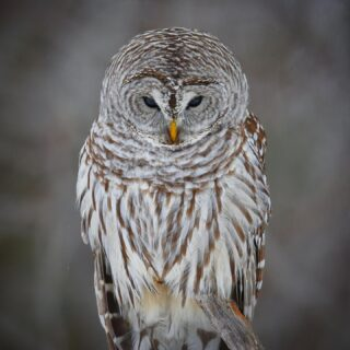 """""""That Moment When Time Stood Completely Still"""" This is the Majestic Barred Owl that makes the Winterberry Bog it's stomping grounds. Here he relentlessly stalking the deep snow below for any slight movement. Hope everyone is fine with all the owl photo's 🦉🙏. Shot was taken at Winterberry Bog in St. Louis County, Minnesota 🇺🇸"""