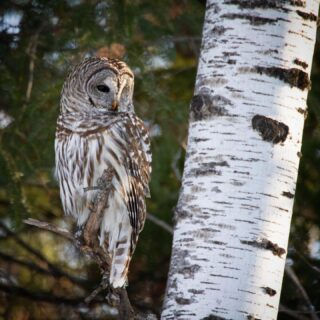 Barred Owl ~ Missing the Bog and surprise owls hunting on the snow-covered dirt roads. #barredowl #saxzimbog #surpriseowl #ohheyyy #minnesota #minnesotabirds #minnesotabirding #elite_raptors #elite_owls #ethicalowlphoto #owls #nuts_about_birds #nuts_about_wildlife #nuts_about_nature #country_features #birds_brilliance  #raw_birds #birdsandblooms  #best_birds_of_world #best_bird_shots #best_birds_of_ig #women_wildlife_photography