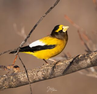 Evening grosbeak at Mary lou's feeders... Mary Lou operates a birders paradise right at her house. Providing multiple feeders and even a photo blind. It's said that during the winter months she goes through about 200 pounds of seed to keep the grosbeaks fed.  She graciously funds all of this on her own. It was one of my favorite spots on the trip. Lifer number 244. #eveninggrosbeak #grosbeak #grosbeaks #bird #birds #birding #birdingminnesota #saxzim #saxzimbog #saxzimbogadventure #minnesota #birdsofthenorth #best_birds_of_ig #best_bird_shots #wildlife #wildlifephotography #nature #naturephotography #naturelovers #minnesotaadventures #birdsofinstagram #birdphotography #best_birds_of_world
