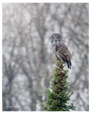 Winter Wonderland ❄️🦉❄️, St Louis County, MN Dec 2020  An awesome late afternoon with a great gray owl in the snow.  We watched him hunt for a good 30 minutes before he flew deeper into the woods.  Follow ➡️scott.pudwell ⬅️  #scottpudwellphotography #greatgrayowl #greatgreyowl #owl #elite_owls #ggo #saxzimbog #owlsofinstagram #naturephotography #nikonnofilter #owls #owllover #nature #audobonsociety #minnesotawinter #photooftheday #picoftheday #snow #majestic #winterwonderland #elite_raptors