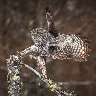 Parkour! - So much fun watching these incredible owls hunt and move around in Northern Minnesota! This Great Gray coming in for a landing looked like it was busting a parkour move. Merry Christmas to you and yours!