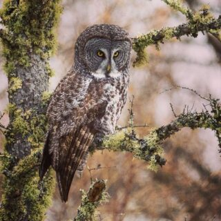 Great Grey Owl at the Sax Zim Bog.  #saxzimbog  #onlyinmn  #owls #lakesuperiormagazine  #birds #lakesuperiormagazine #perfectduluthday #tamron #duluthsuperiorcameraclub  #onlyinmn #winter #destinationduluth  #greatgreyowl #authenticduluth #10kminnesota #frozenphotographers #snow You can find my most current work at https://m.facebook.com/ambersimpressions/ Prints are available upon request! Enjoy!