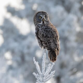 Observing. Driving about through the taiga north of the Two Harbors area on Saturday morning, we came upon a second Great Gray perching in the hoarfrost. We were able to observe it for probably 20 minutes before it moved deeper into the forest. Here was the first look, fairly backlit. 1/2/21. Nikon D500, 500 mm, f/5.6, ISO 500, 1/800 second. #strixnebulosa #greatgrayowl #ggo #owl #elite_owls #saxzimbog #minnesota #winterbirding #twoharborsmn