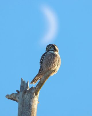Northern Hawk Owl eyeing the nearby field in the late afternoon sun and perched in line with the rising crescent moon. The hawk owl was easily my favorite encounter from Minnesota. I had never seen this species previously. These owls are primarily a bird of the boreal forest showing up only in small numbers to the US. Having the appearance of an owl, they are capable of amazingly fast flights with wingbeats resembling that of a hawk. We had a great time watching them perch openly, preen and take quick flights around the bog. #northernhawkowl #saxzimbog #canonwildlife #minnesotawild #elite_owls #elite_raptors #bird_brilliance #birds_captures #bns_birds #bns_nature #nature_brilliance #birdsofprey #raptors #minnesota #birds_illife #planetbirds #bestbirdshots