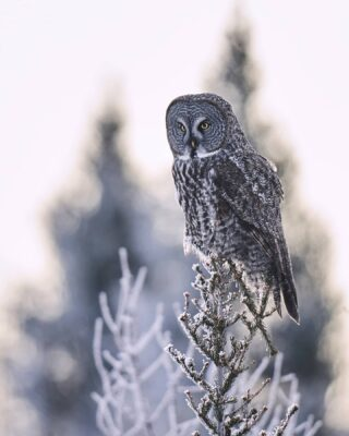 Great gray owl against the hoarfrost. ❄️ We actually love doing backlit photography..a lot of times they produce interesting images • • • • • Sony a7R IV • Sony FE 400mm F2.8 GM OSS