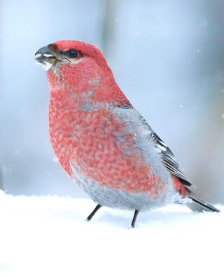 As we were traveling to Minnesota, I'm not sure that there was any species that I desired to photograph more than the Pine Grosbeak. These big bold boreal finches are absolutely stunning to see in person. This richly raspberry colored adult male was foraging for food in the freshly fallen snow. I absolutely love how their colors pop against the cool white winter tones.   #pinegrosbeak #saxzimbog #minnesota #canonwildlife #birds_captures #planetbirds #bird_brilliance #nuts_about_birds #feather_perfection #bb_of_ig