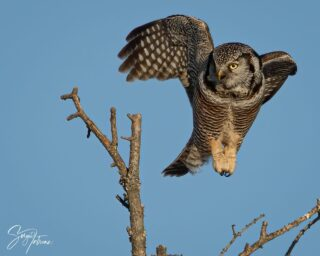 Levitating northern hawk owl....These owls only hunt during the day and are pretty rare in the United States. #northernhawkowl #owl #owls #owlsofinstagram #elite_owls #elite_raptors #raptor #minnesotabirding #saxzimbog #saxzimbogadventure #wildlife #wildlifephotography #nature #naturephotography #naturelovers #northernminnesota #minnesota #lifebird #best_bird_shots #best_birds_of_world #silence_of_colors