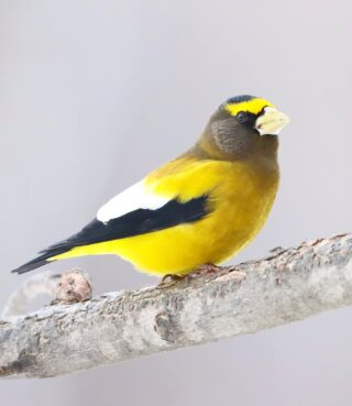 We welcomed in the new year by spending a few days in the northern Minnesota wilderness. We had many target species that we hoped to see, success with some while missing others but that's how it goes. For me, the Evening Grosbeak was high on the list. This striking male shows off the beautiful plumage that they are known for on bitterly cold 12° morning. #eveninggrosbeak #saxzimbog #canonwildlife #minnesotawild #nationalbirdday #bird_brilliance #birds_illife #planetbirds #bns_birds #bestbirdshots #birds_captures #feather_perfection