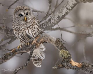 It was a nice, rainy and windy day today in Wisconsin, so I decided to go through some old pics that I havent had the chance to edit yet. This pic was taken in early February when I took my first trip to the Sax-Zim Bog in northern Minnesota. This particular barred owl wasn't bothered by photographers and I got to watch her hunt for about an hour on my last day in the bog. It was such an awesome experience to witness her patience as she hunted several small birds.⁣ ⁣ Sony a7riv⁣ Sony 200-600⁣ ⁣ This print is now available on my website by clicking the link in my bio, or message me directly with any inquiries. Available in paper, metal, acrylic, canvas and more. This particular print can be printed up to 60x48 inches!⁣ ⁣ ⁣ #wildlife #owl #saxzimbog #Minnesota #minnesotawildlife #wildlife_captures #planetbirds #discoverwildlife #yourshotphotography #majestic_wildlife #majestic_earth #featured_wildlife #owlsofinstagram #nature_captures #animal_sultans #allmightybirds #birdextreme #natures #splendid_animals #barredowl #birding #allnatureshots #natgeowild #natgeoyourshot #natgeo #sonyalphaanimalportrait #sonywildlifephotographer #sonywildlife #wildlifephotographer #wisconsinphotographer