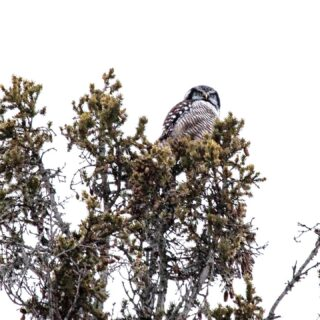 Successful day 1 at Sax Zim Bog with ncbirdnerd ! Saw 2 Northern Hawk Owls One pictured here , a snowy owl hunting in a field and a very elusive boreal owl in the dark ! Hoping to see the boreal in a little brighter conditions like everyone yesterday! Hawk owls look like owls but have more hawk characteristics such as hunting during the day ! Gorgeous owl!! Lots of other sweet birds ! #northernhawkowl#borealforestowl#saxzimbog#minnesotabirding#audubon#worldgirlbirders #owltour2020
