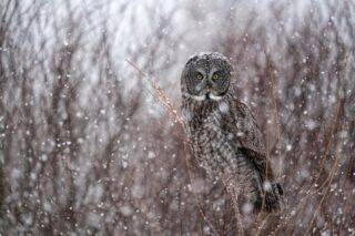 """Great Gray Owl in Blizzard  Sax Zim Bog   one from the archives of an encounter I had with this owl during a snowstorm, we got 6"""" of heavy snow in about 2 hours that afternoon."""
